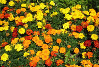 Pitmans Shorthand Christmas Carols: marigolds, municipal bedding, Hastings, Sussex