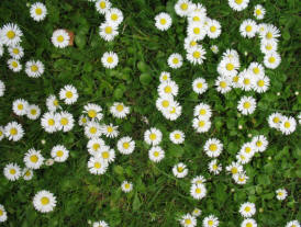 Pitmans Shorthand Christmas Carols: Daisies in grass