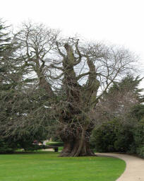 Greenwich Park - ancient tree