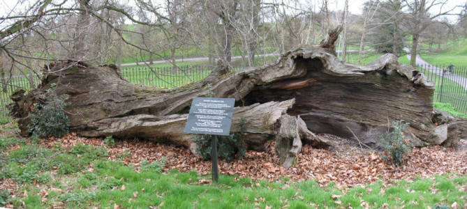 "Greenwich Park - ""Queen Elizabeth's Oak"" chestnut tree"