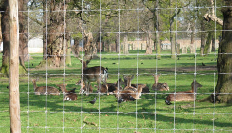 Greenwich Park - Deer in The Wilderness