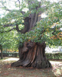 Greenwich Park - ancient chestnut tree 1