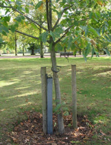 Greenwich Park - newly planted tree