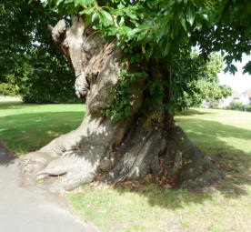 Greenwich Park - ancient chestnut tree 2